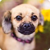 Adopt A Pet :: Snapple - Austin, TX