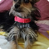 Adopt A Pet :: Phaedra - TINY little cutie! - Phoenix, AZ