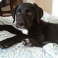 Adopt A Pet :: Odin (puppy) - Bowie, MD