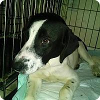 Adopt A Pet :: Speckles - Tampa, FL