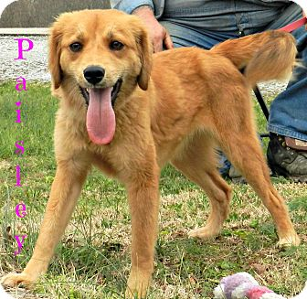 golden retriever and beagle mix paisley adopted dog lawrenceburg tn golden 8308