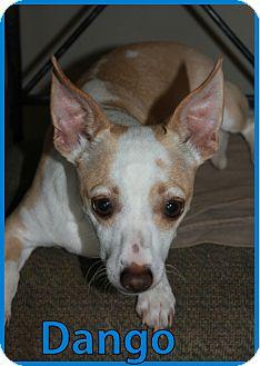 Chihuahua/Terrier (Unknown Type, Small) Mix Dog for adoption in Buckeye, Arizona - Dango