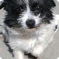 Adopt A Pet :: Miley - Boulder, CO
