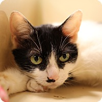 Domestic Shorthair Cat for adoption in Richmond, Virginia - Elsie