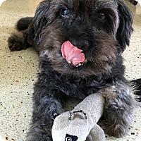 Adopt A Pet :: BooBear - Ocean Ridge, FL