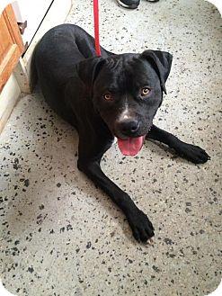 Boxer/Labrador Retriever Mix Dog for adoption in Hazel Park, Michigan - Joe Louis