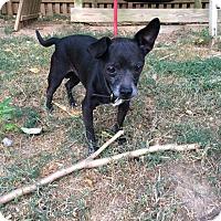 Adopt A Pet :: Opie - Staunton, VA