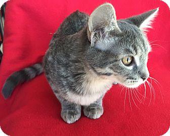 Domestic Shorthair Kitten for adoption in Meridian, Idaho - Skye