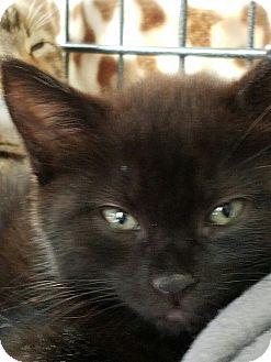 Domestic Shorthair Kitten for adoption in Island Park, New York - Joan Jett