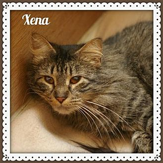 Domestic Shorthair Cat for adoption in Island Heights, New Jersey - Xena