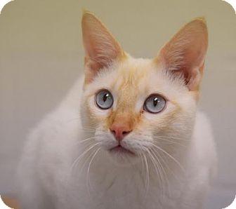 Siamese Cat for adoption in DFW Metroplex, Texas - George