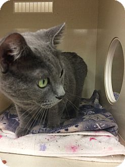 Domestic Shorthair Cat for adoption in Chicago, Illinois - Dee Dee