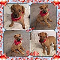 Adopt A Pet :: Sadie pending adoption - Manchester, CT