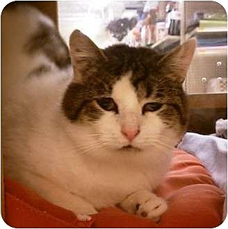 Domestic Shorthair Cat for adoption in Canal Winchester, Ohio - Lincoln