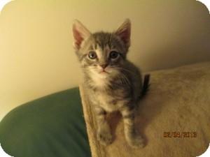 Domestic Shorthair Kitten for adoption in Island Park, New York - Jackson