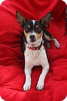 Fox Terrier (Smooth)/Jack Russell Terrier Mix Dog for adoption in san diego, California - Ace