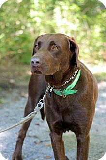 Labrador Retriever Dog for adoption in Tinton Falls, New Jersey - Reno