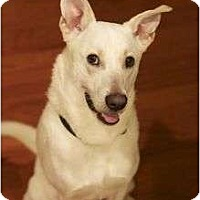Adopt A Pet :: Alfie - Brattleboro, VT