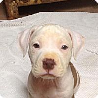 Adopt A Pet :: Pikachu - Scottsdale, AZ