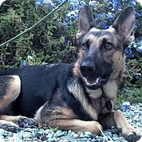 German Shepherd Dog Dog for adoption in Sacramento, California - Nadia