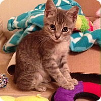 Domestic Shorthair Kitten for adoption in Madisonville, Louisiana - Spitz