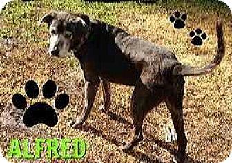 Labrador Retriever Mix Dog for adoption in Riverview, Florida - Alfred