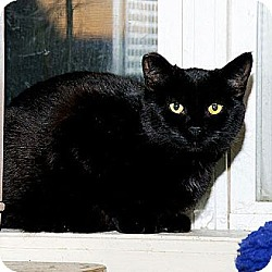 Photo 2 - Domestic Shorthair Cat for adoption in Whitewater, Wisconsin - Ebony