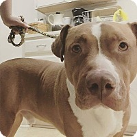 Adopt A Pet :: Daryl - Parker, CO