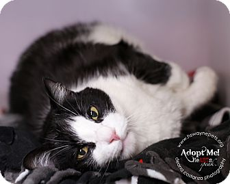 Domestic Shorthair Cat for adoption in Lyons, New York - Sage
