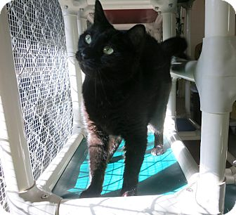 Domestic Shorthair Cat for adoption in Geneseo, Illinois - Beauty