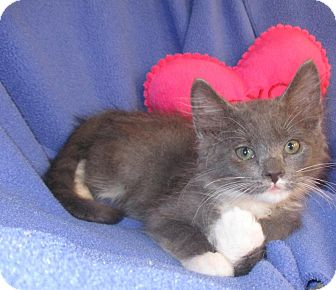 Domestic Mediumhair Kitten for adoption in Mebane, North Carolina - Baby Joe