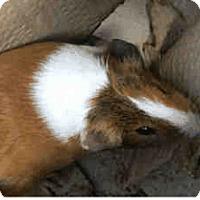 Adopt A Pet :: *Urgent* Latte - Fullerton, CA