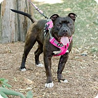 American Bulldog Mix Dog for adoption in Caldwell, New Jersey - Bean ~ Our Beanie Baby!