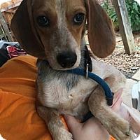 Adopt A Pet :: Marlee - Byhalia, MS