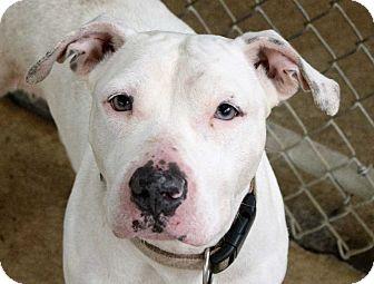 Boxer/Bulldog Mix Dog for adoption in Fort Madison, Iowa - Petunia