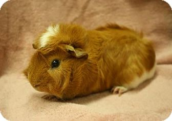 Guinea Pig for adoption in West Des Moines, Iowa - Gaspar