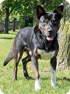 Australian Cattle Dog/Shepherd (Unknown Type) Mix Dog for adoption in Livonia, Michigan - Vegas-APPLICATIONS CLOSED