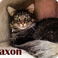 Maine Coon Cat for adoption in Hamilton, Montana - Saxon