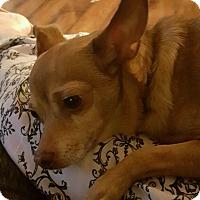 Adopt A Pet :: Champ - Springfield, MA