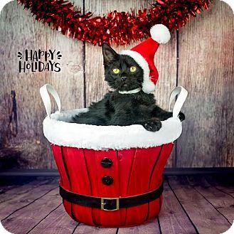 Domestic Shorthair Kitten for adoption in Columbia, Illinois - Dillinger