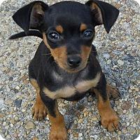 Adopt A Pet :: MIN PIN PUPS - Tonopah, AZ