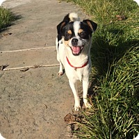 Adopt A Pet :: Daisy - Vacaville, CA
