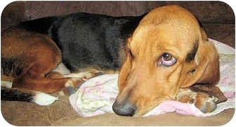 Basset Hound Dog for adoption in Phoenix, Arizona - Staephanie