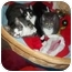 Photo 1 - Domestic Shorthair Kitten for adoption in Little Neck, New York - home 4 xmas