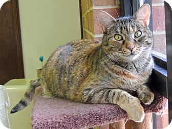 Domestic Shorthair Cat for adoption in Pineville, North Carolina - Strudel