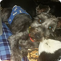 Adopt A Pet :: Chickie Wing - Alamosa, CO