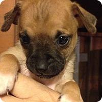 Adopt A Pet :: Josh - Gilbert, AZ