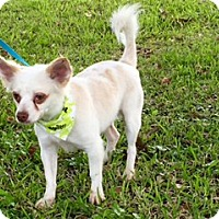 Adopt A Pet :: Chuy - Houston, TX