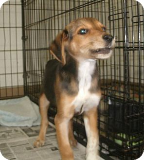 Beagle Mix Puppy for adoption in Jamestown, Tennessee - Rey