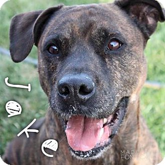 Boxer/Labrador Retriever Mix Dog for adoption in Hartford City, Indiana - Jake